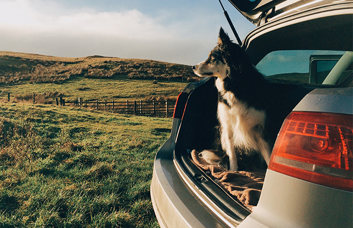 A dog sitting in car boot